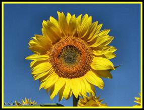 floarea baraganului - floarea soarelui