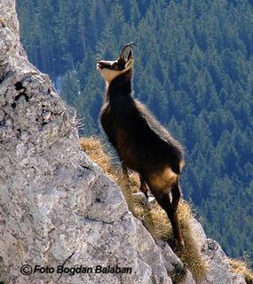capra neagra - muntii bucegi