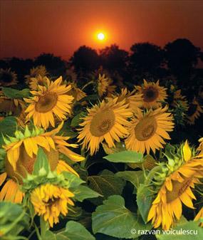 vama veche - floarea soarelui la apus - razvan voiculescu