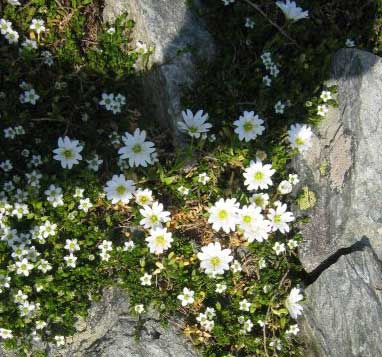 Flori de munte - Muntii Fagaras - vara 2007