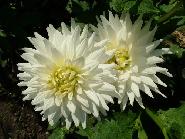 Floare de colt - recolta 2001